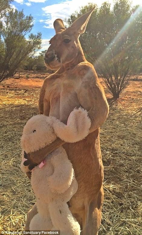 Phát sốt với 'soái ca' kangaroo thân hình 6 múi ở Úc - ảnh 4