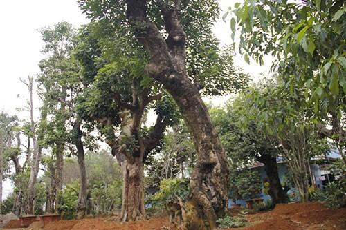 Đường dây buôn bán siêu cây trăm tỷ ở Hà Nội - ảnh 1