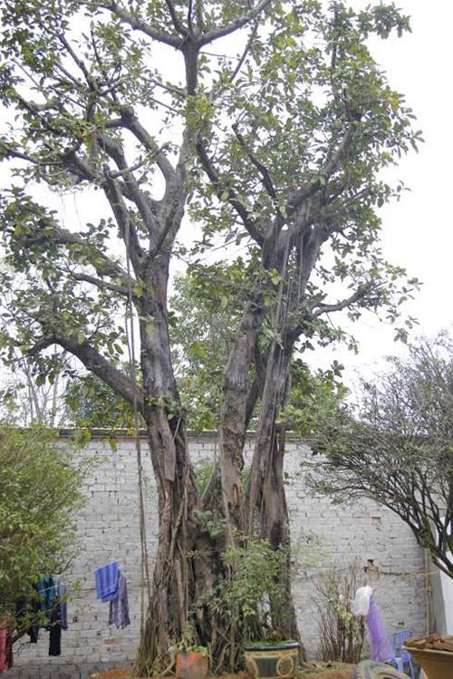 Đường dây buôn bán siêu cây trăm tỷ ở Hà Nội - ảnh 2