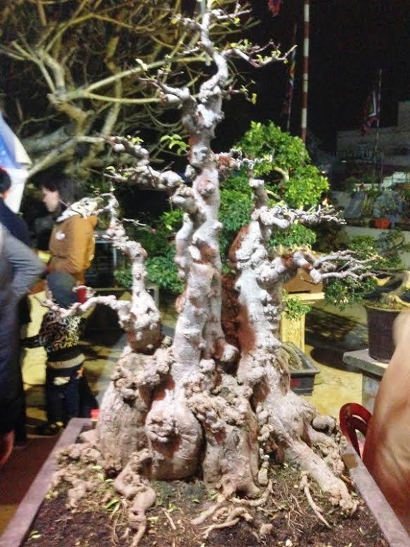 Cận cảnh cây mai giá đắt nhất chợ Viềng  - ảnh 1