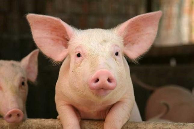 Những bất ngờ thú vị về loài lợn mà bạn chưa bao giờ biết - ảnh 1