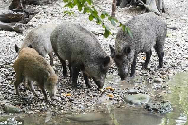 Những bất ngờ thú vị về loài lợn mà bạn chưa bao giờ biết - ảnh 2