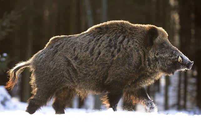 Những bất ngờ thú vị về loài lợn mà bạn chưa bao giờ biết - ảnh 3