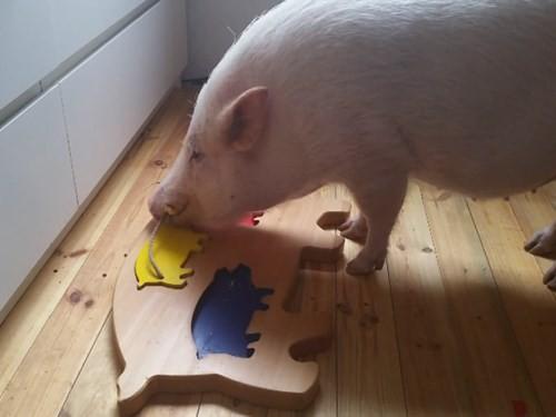 Những bất ngờ thú vị về loài lợn mà bạn chưa bao giờ biết - ảnh 4