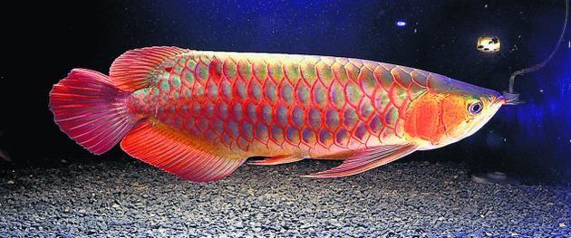 Những sự thật bất ngờ về loài cá cảnh - ảnh 2