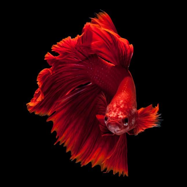 Những sự thật bất ngờ về loài cá cảnh - ảnh 4