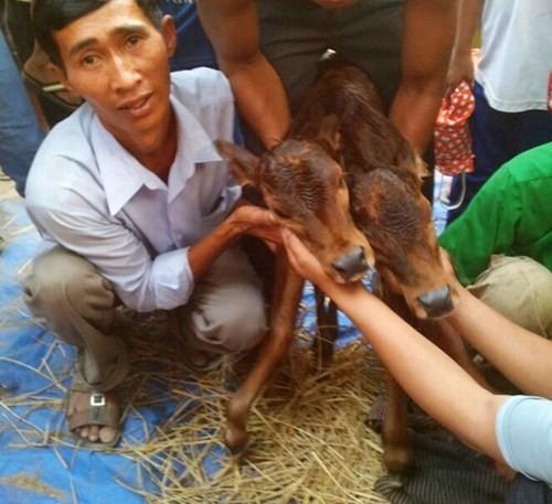 Con bê có hai đầu ở Quảng Nam khiến cả làng sửng sốt - ảnh 3