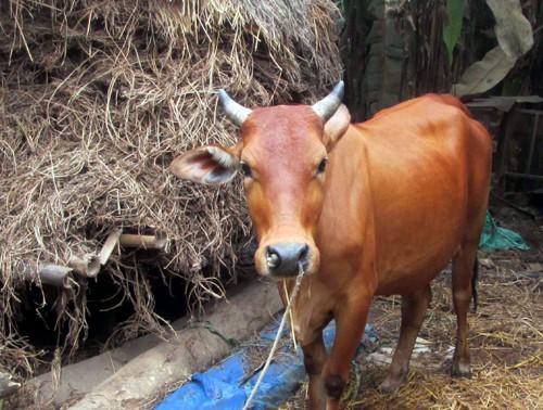 Con bê có hai đầu ở Quảng Nam khiến cả làng sửng sốt - ảnh 2