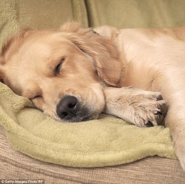 Khoa học kết luận: Chó cũng ngủ mơ như con người - ảnh 1