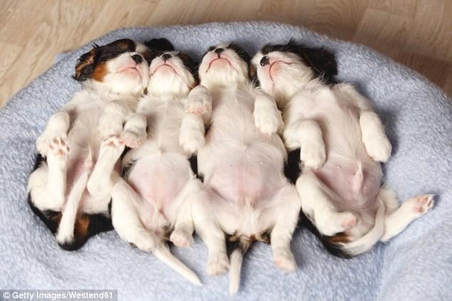 Khoa học kết luận: Chó cũng ngủ mơ như con người - ảnh 2