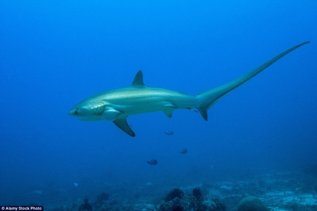 Đứng tim giây phút 5 con cá mập dàn trận 'vây hãm' một cô gái - ảnh 6