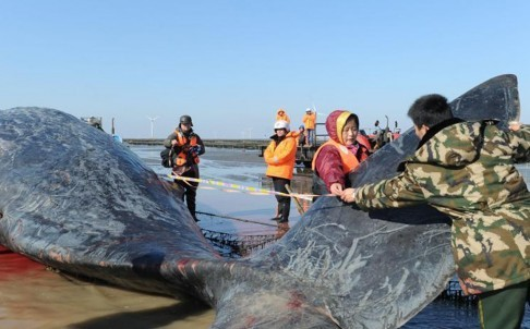 2 cá voi to như tàu ngầm dạt vào bờ biển Trung Quốc - ảnh 1