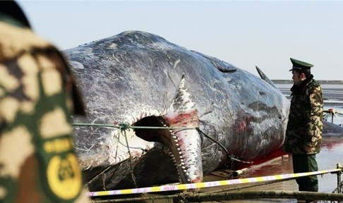 2 cá voi to như tàu ngầm dạt vào bờ biển Trung Quốc - ảnh 2