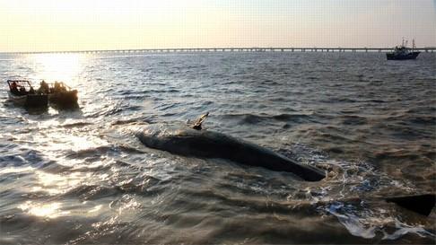2 cá voi to như tàu ngầm dạt vào bờ biển Trung Quốc - ảnh 3