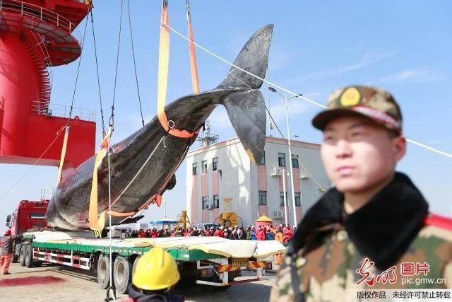 2 cá voi to như tàu ngầm dạt vào bờ biển Trung Quốc - ảnh 4