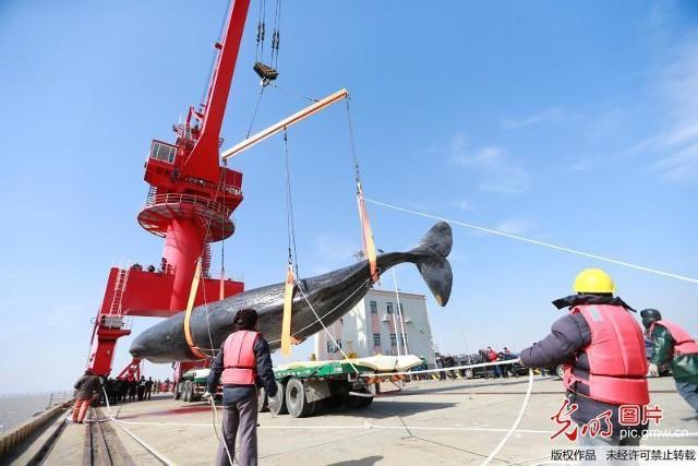 2 cá voi to như tàu ngầm dạt vào bờ biển Trung Quốc - ảnh 5