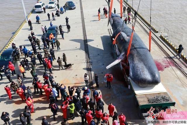 2 cá voi to như tàu ngầm dạt vào bờ biển Trung Quốc - ảnh 6