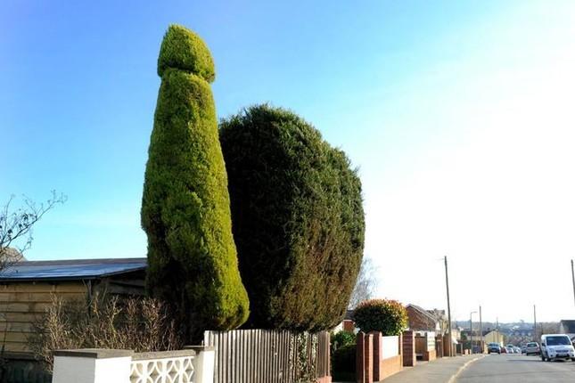 Tỉa cây hình 'của quý' 3 năm ròng rã chỉ để hàng xóm... vui - ảnh 3