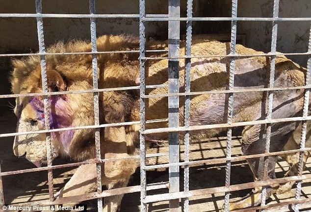 Kinh hoàng mãnh thú lao vào ăn thịt nhau ở sở thú Yemen - ảnh 1