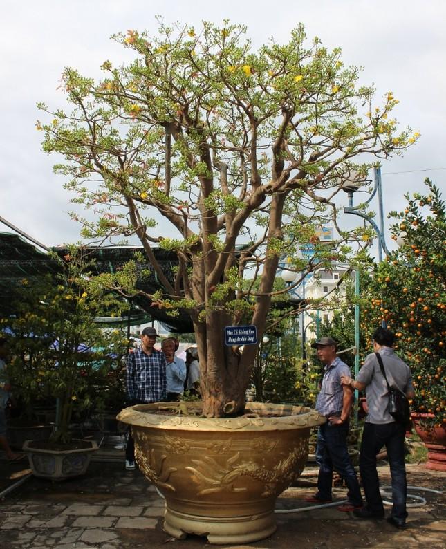 Cận cảnh cây mai cổ thụ 100 tuổi giá 2 tỷ ở Đà Nẵng - ảnh 1