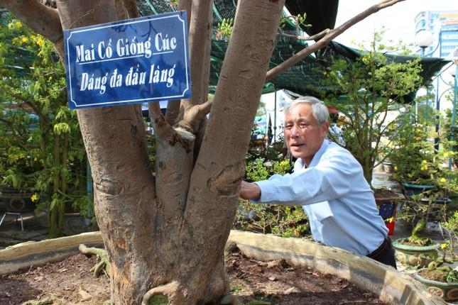 Cận cảnh cây mai cổ thụ 100 tuổi giá 2 tỷ ở Đà Nẵng - ảnh 2