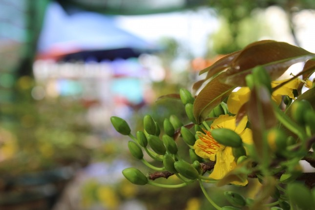 Cận cảnh cây mai cổ thụ 100 tuổi giá 2 tỷ ở Đà Nẵng - ảnh 4