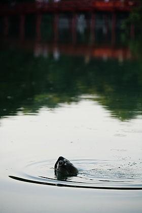 Chuyên gia quốc tế phản đối đưa rùa Đồng Mô về Hồ Gươm - ảnh 3