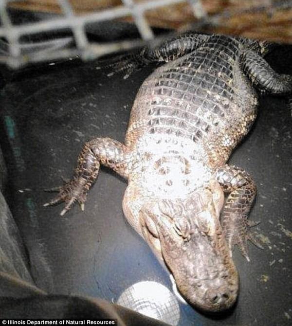 Người đàn ông bí mật nuôi cá sấu làm thú cưng suốt 26 năm - ảnh 1