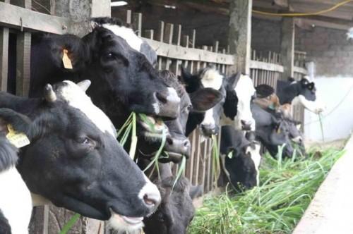 Việc ông Thăng yêu cầu hỗ trợ nông dân Củ Chi, Vinamilk lên tiếng - ảnh 2