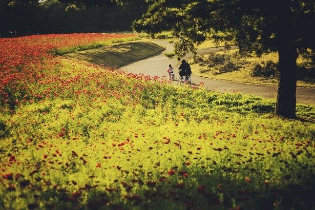 Vẻ đẹp thiên đường hoa ở công viên Hitachi Seaside Nhật Bản - ảnh 1