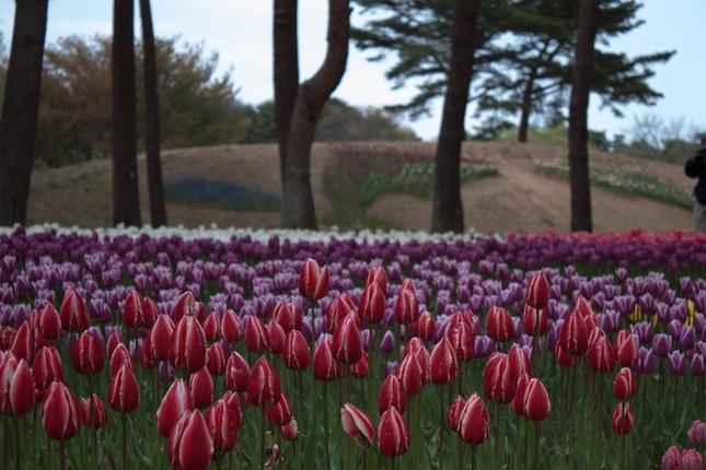 Vẻ đẹp thiên đường hoa ở công viên Hitachi Seaside Nhật Bản - ảnh 2