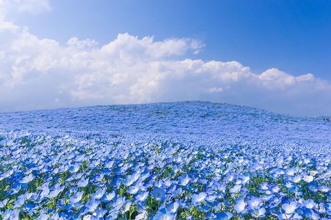 Vẻ đẹp thiên đường hoa ở công viên Hitachi Seaside Nhật Bản - ảnh 3