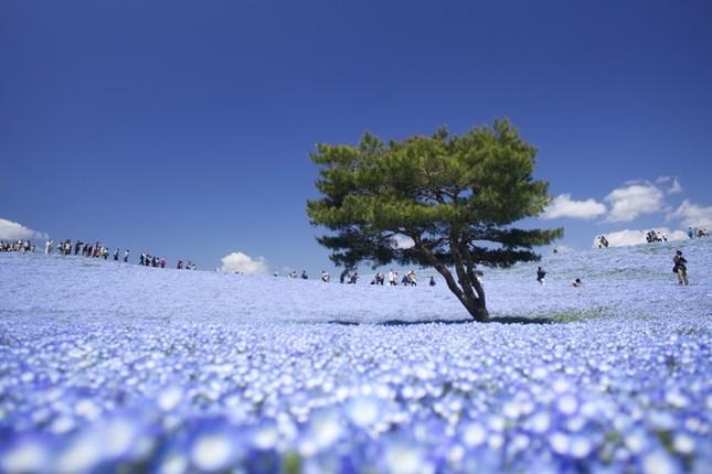 Vẻ đẹp thiên đường hoa ở công viên Hitachi Seaside Nhật Bản - ảnh 4