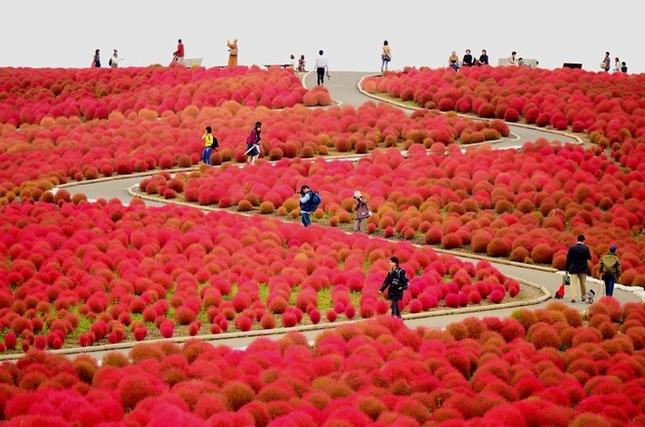 Vẻ đẹp thiên đường hoa ở công viên Hitachi Seaside Nhật Bản - ảnh 6