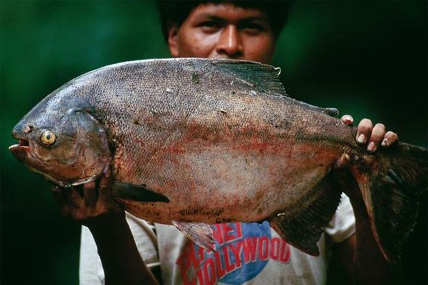 Loài cá có hàm răng 'khủng', chỉ thích cắn tinh hoàn đàn ông - ảnh 2