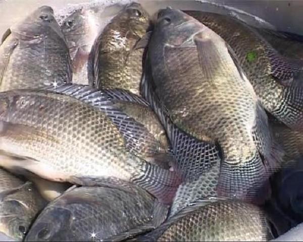 Ăn cá rô phi khiến cái chết cận kề hơn? - ảnh 1