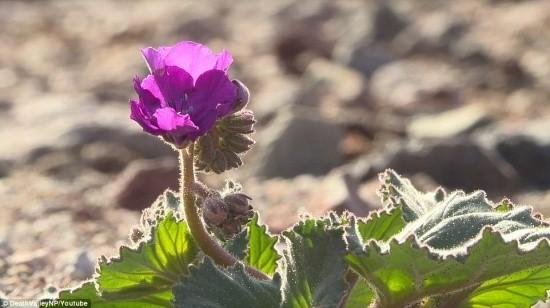 Ngỡ ngàng trước 'biển hoa vàng' rực rỡ nơi 'Thung lũng chết' - ảnh 7
