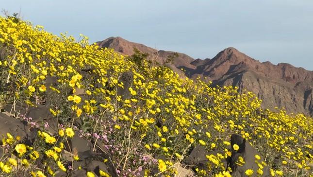 Ngỡ ngàng trước 'biển hoa vàng' rực rỡ nơi 'Thung lũng chết' - ảnh 4