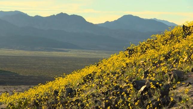 Ngỡ ngàng trước 'biển hoa vàng' rực rỡ nơi 'Thung lũng chết' - ảnh 3