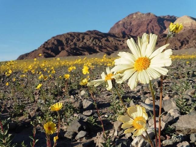 Ngỡ ngàng trước 'biển hoa vàng' rực rỡ nơi 'Thung lũng chết' - ảnh 1