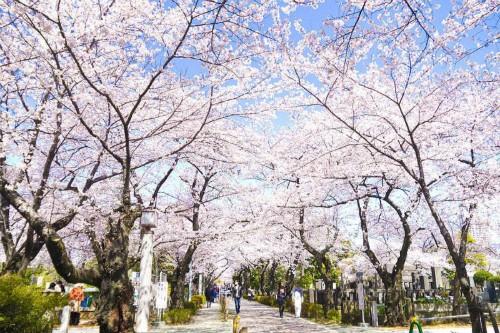 Mãn nhãn với những con đường hoa anh đào tuyệt đẹp trên thế giới - ảnh 1