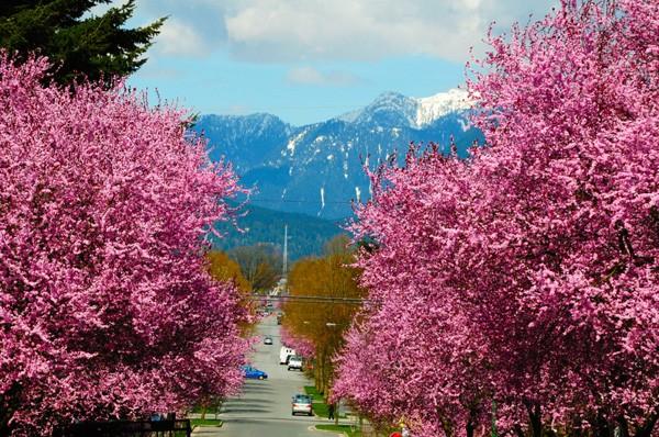 Mãn nhãn với những con đường hoa anh đào tuyệt đẹp trên thế giới - ảnh 4