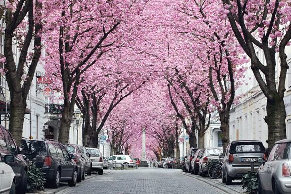 Mãn nhãn với những con đường hoa anh đào tuyệt đẹp trên thế giới - ảnh 6