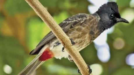 Truy tố 2 thanh niên trộm chim chào mào của Giám đốc Sở 30 tuổi - ảnh 2