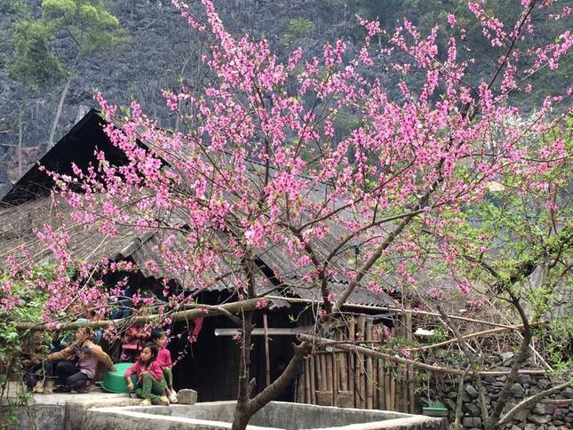 Vẻ đẹp khó cưỡng của những cây đào cổ khổng lồ - ảnh 11