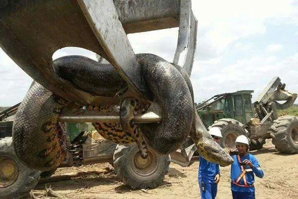 Con trăn lớn nhất hành tinh được phát hiện ở Brazil - ảnh 1