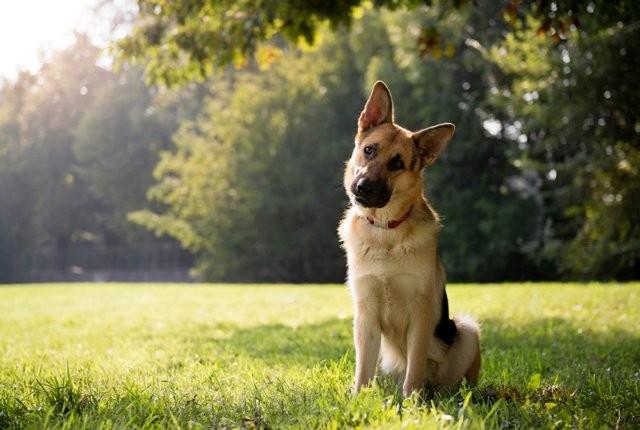 Vì sao chó hay nghiêng đầu khi lắng nghe con người tâm sự? - ảnh 2