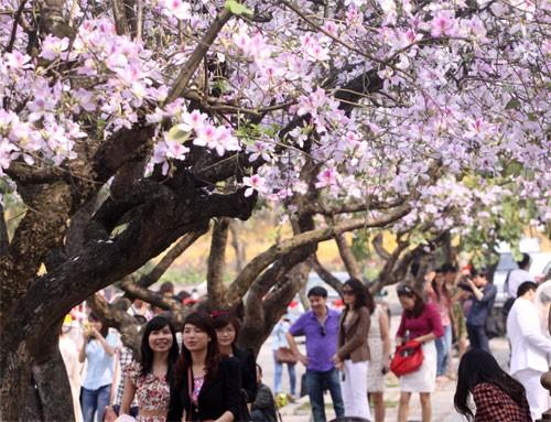 Ghé thăm những cung đường rực rỡ hoa ban giữa lòng Hà Nội - ảnh 1