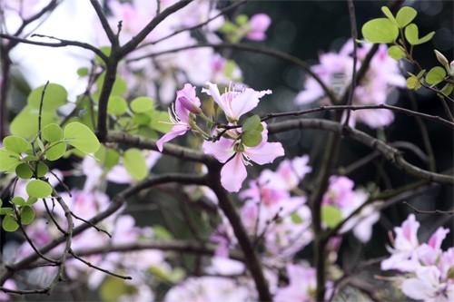 Ghé thăm những cung đường rực rỡ hoa ban giữa lòng Hà Nội - ảnh 3