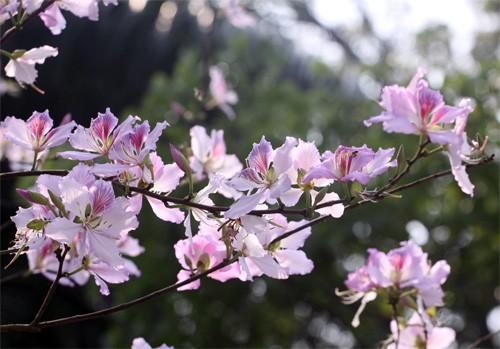 Ghé thăm những cung đường rực rỡ hoa ban giữa lòng Hà Nội - ảnh 6